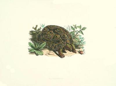 Common Land Tortoise