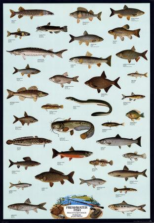 Fish Freshwater