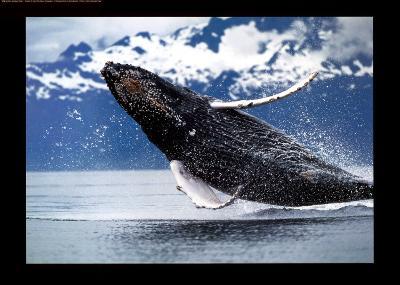 Northern Humpback Whale