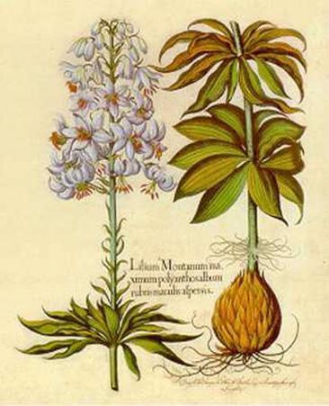 Lilium Montanum II