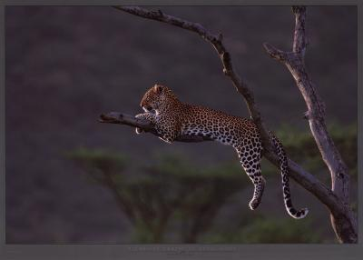 Leopard at Masai-Mara, Kenya