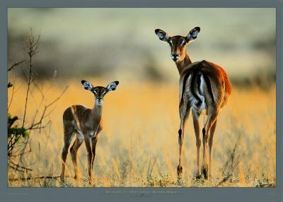 Impala, Mother and Infant