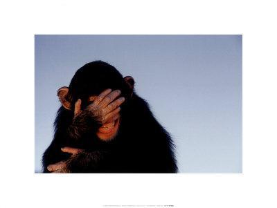 Embarrassed Chimpanzee