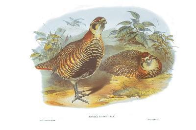 Perdix Hodgsoniae