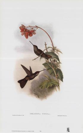 Coeligena Typica, Hummingbirds