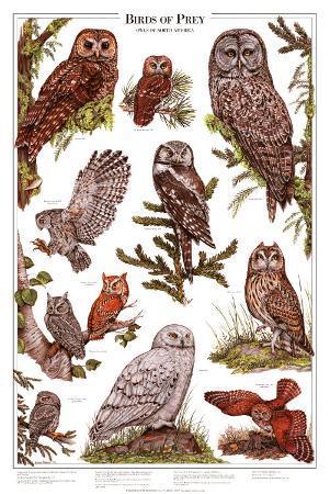 Owls B - Birds of Prey