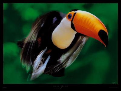 Ramphastos Toco (Toucan)