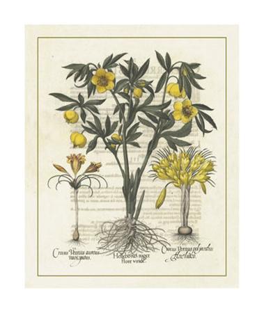 Besler Floral II