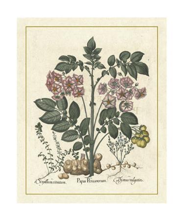 Besler Floral V