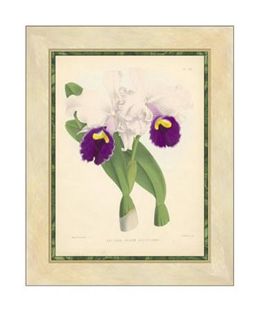Fitch Orchid I