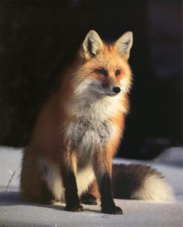 Fox and Winter Coat