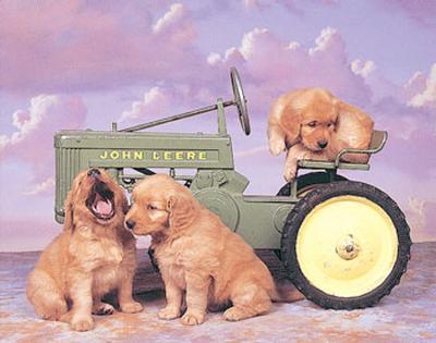 Golden Retrievers on Tractor