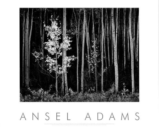 Aspens Northern New Mexico 1958 Prints By Ansel Adams At