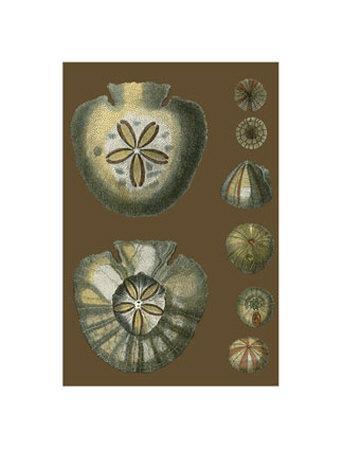 Shells on Cocoa II