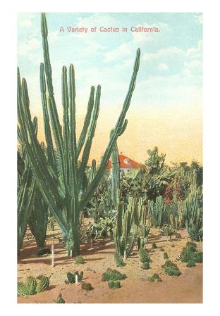 Euphorbia, Cactus, in California