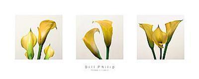 Three Lilies II