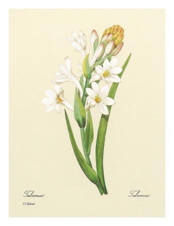 White Tuberose, c.1833