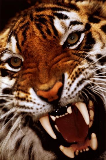 8k Animal Wallpaper Download: Bengal Tiger Close-Up Photo At AllPosters.com