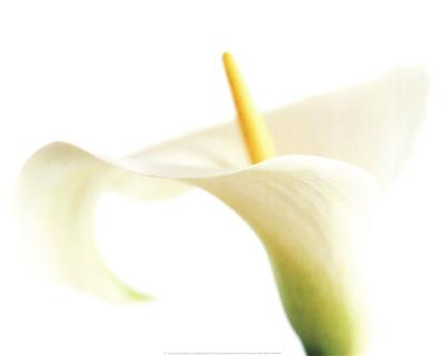 Calla on White