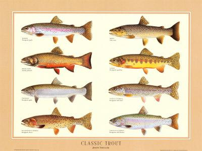 Classic Trout