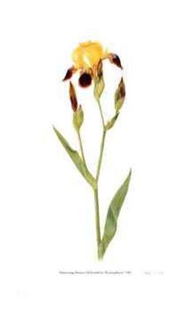 Miniature Tall Bearded Iris