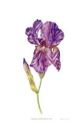 Arilbred Iris `Humohr`