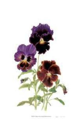 Swiss Giant Chalon Pansies