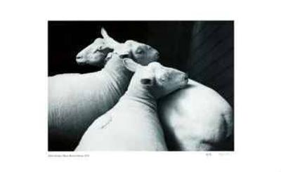 3 Sheared Sheep