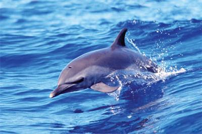 Dolphin (Solo)