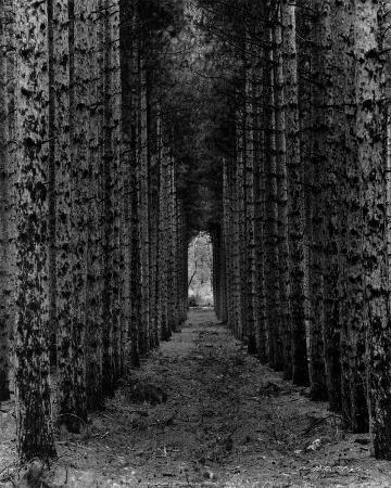 Red Pines, Empire, MI