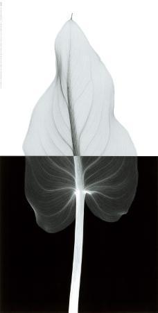 Calla Leaf II
