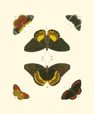 Cramer Butterfly Study I