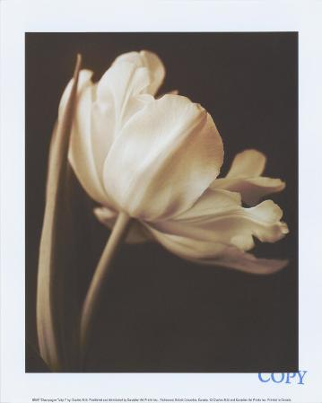 Champagne Tulip I