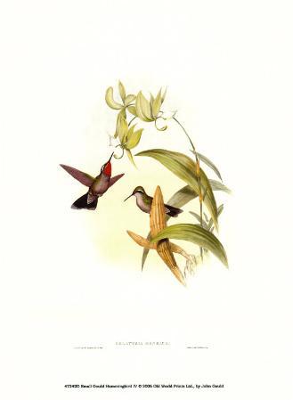 Small Gould Hummingbird IV