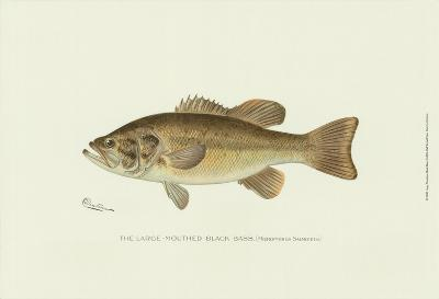Large-Mouthed Black Bass