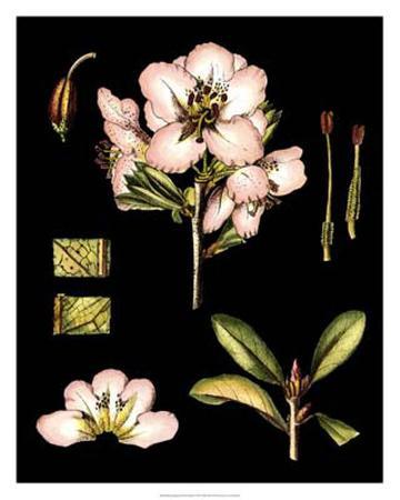 Black Background Floral Studies II