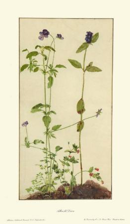 Three Medicinal Herbs: Pansy, Brunella, Anagallis