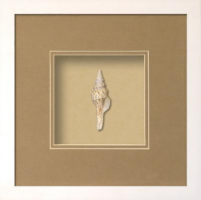 *Exclusive* Fusinus Shell Shadowbox - Sand