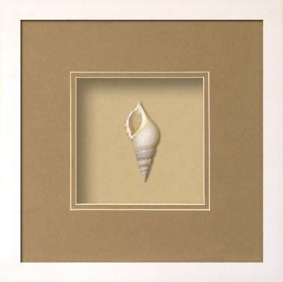 *Exclusive* Baby Tibia Shell Shadowbox - Sand