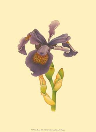 Iris Bloom III