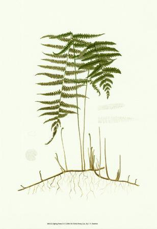 Spring Ferns III