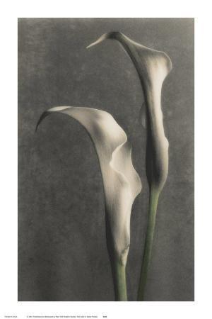 Two Lilies II