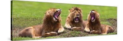 Lions Yawning