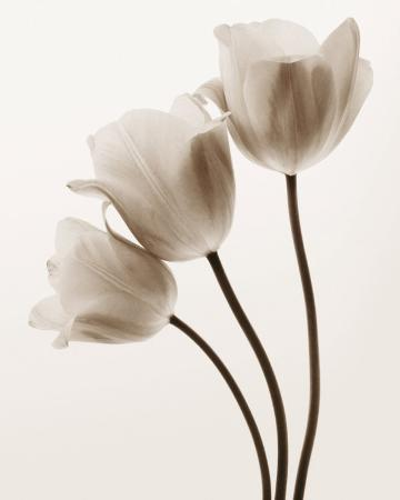 Composition with Three Tulips