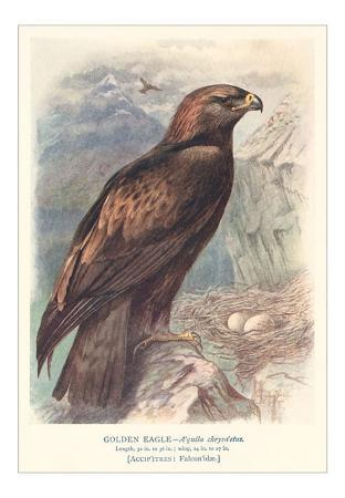 Golden Eagle with Nest