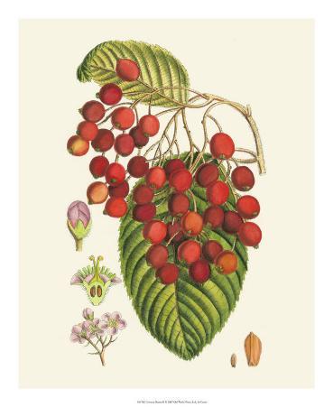 Crimson Berries II