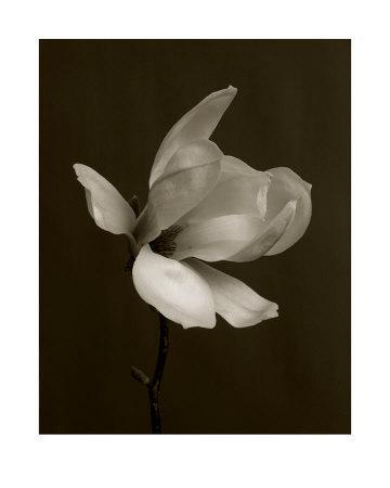 White Magnolia Flower