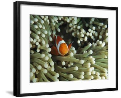 Clown anemonefish in sea anemone, Pacific Ocean