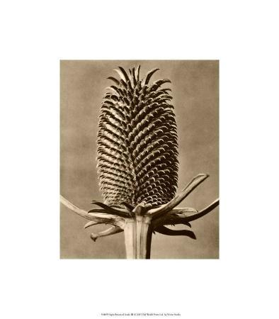 Sepia Botany Study III