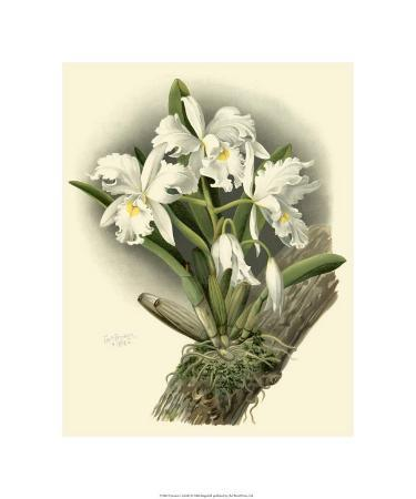 Dramatic Orchid I
